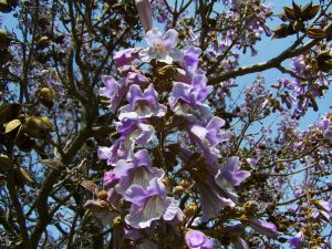 emperor-flowering-tree-772167_1920